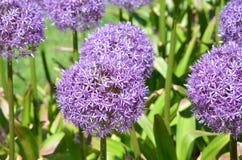 Giardino dell'allium con i fiori in fioritura Fotografie Stock