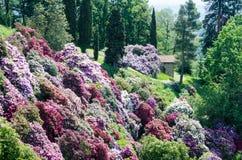 Giardino dell'azalea in Italia immagine stock