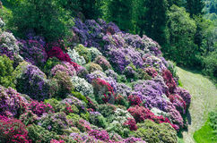 Giardino dell'azalea in Italia fotografia stock