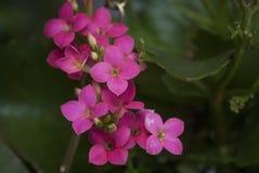 Giardino dell'interno di coltivazione ornamentale delle viole del fiore Immagine Stock