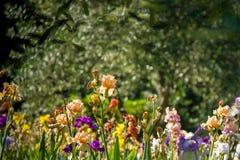 Giardino dell`Iris Royalty Free Stock Photo