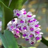 Giardino 01 dell'orchidea Fotografia Stock Libera da Diritti