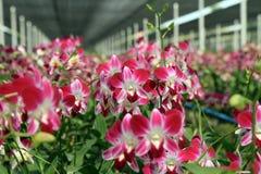 Giardino dell'orchidea di lawrenceae di Aerides Immagini Stock Libere da Diritti