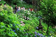 Giardino dell'ortensia nel Giappone Immagine Stock Libera da Diritti
