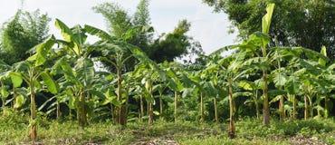 Giardino della banana Fotografia Stock