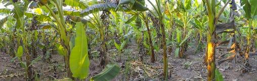 Giardino della banana Immagini Stock Libere da Diritti