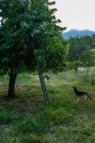 Giardino della ciliegia Fotografia Stock