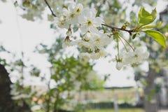 Giardino della ciliegia Fondo del fiore della primavera - confine floreale astratto delle foglie verdi e dei fiori bianchi fotografia stock