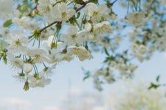 Giardino della ciliegia Fondo del fiore della primavera - confine floreale astratto delle foglie verdi e dei fiori bianchi Fotografie Stock
