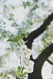 Giardino della ciliegia Fondo del fiore della primavera - confine floreale astratto delle foglie verdi e dei fiori bianchi Immagini Stock Libere da Diritti