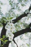Giardino della ciliegia Fondo del fiore della primavera - confine floreale astratto delle foglie verdi e dei fiori bianchi Fotografia Stock Libera da Diritti