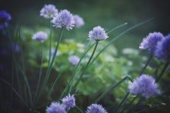 Giardino della erba cipollina Fotografia Stock Libera da Diritti