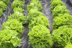 Giardino della lattuga Immagine Stock