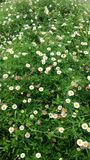 Giardino della margherita bianca Immagini Stock