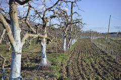 giardino della mela in primavera prima di sbocciare fotografia stock