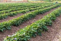Giardino della patata dolce con gli agricoltori Fotografia Stock Libera da Diritti