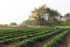 Giardino della patata dolce con gli agricoltori Immagini Stock Libere da Diritti
