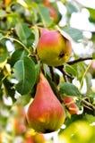 Giardino della pera Immagini Stock