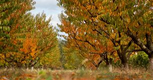 Giardino della pesca nei colori di autunno Fotografia Stock Libera da Diritti