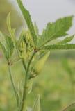 Giardino della pianta di gombo Fotografie Stock Libere da Diritti