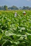 Giardino della pianta di tabacco della Tailandia Immagini Stock