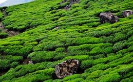 Giardino della piantagione di tè Fotografia Stock Libera da Diritti