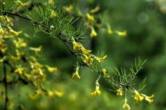 Giardino della primavera dei arborescens di Caragana Fotografia Stock