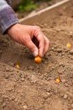 Giardino della primavera di Planting Onion In dell'agricoltore della mano Fotografie Stock Libere da Diritti