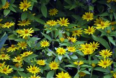 Giardino delle margherite gialle Immagine Stock