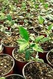 Giardino delle plantule Fotografia Stock Libera da Diritti