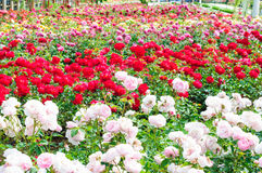 Giardino delle rose Fotografia Stock