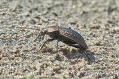 Giardino dello scarabeo sul sentiero nel bosco Immagine Stock Libera da Diritti