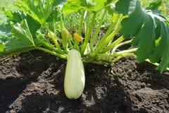 Giardino dello zucchini dello zucchini fotografia stock