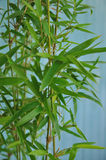 Giardino di bambù Fotografia Stock
