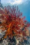 Giardino di corallo Bali subacqueo immagini stock