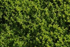Giardino di erbe di timo Immagine Stock