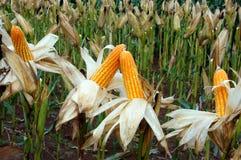 Giardino di esperimento, mais giallo, Vietnam, agricoltura, cereale Immagini Stock