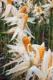 Giardino di esperimento, mais giallo, Vietnam, agricoltura, cereale Immagine Stock