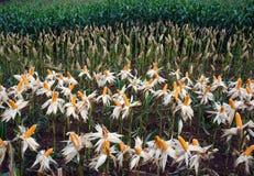 Giardino di esperimento, mais giallo, Vietnam, agricoltura, cereale Fotografie Stock