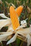 Giardino di esperimento, mais giallo, Vietnam, agricoltura, cereale Fotografia Stock Libera da Diritti