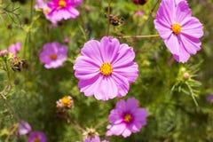 Giardino di estate con i fiori dell'universo Immagini Stock