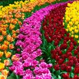 Giardino di fiori del tulipano nel fondo o il modello di primavera Immagine Stock