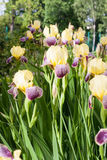 Giardino di fiori dell'iride fotografia stock