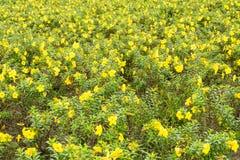 Giardino di fiori giallo Fotografie Stock