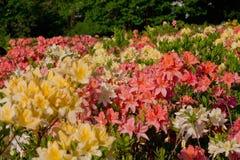 Giardino di fioritura con rododendro Fotografia Stock