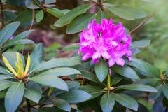 Giardino di fioritura dei fiori del rododendro in primavera, fondo della natura fotografie stock