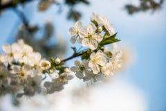 Giardino di fioritura Fiori del primo piano sull'albero contro cielo blu Immagini Stock Libere da Diritti