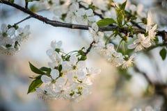 Giardino di fioritura Fiori del primo piano sull'albero contro cielo blu Immagine Stock