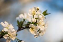 Giardino di fioritura Fiori del primo piano sull'albero contro cielo blu Fotografia Stock
