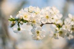 Giardino di fioritura Fiori del primo piano sull'albero contro cielo blu Fotografia Stock Libera da Diritti